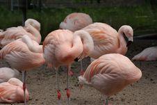 Free Group Of Pink Flamingos Royalty Free Stock Photos - 9853248