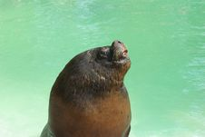 Free Sealion Royalty Free Stock Image - 9853316