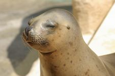 Free Young Sealion Stock Photo - 9853340