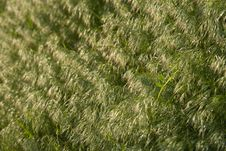 Free Brome Grass Background Royalty Free Stock Photography - 9853777