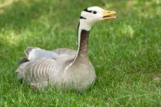 Free Portrait  Goose Royalty Free Stock Images - 9854169