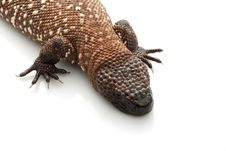 Free Mexican Beaded Lizard Royalty Free Stock Photography - 9854607