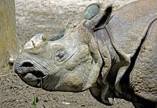 Free Great Indian Rhinoceros 2 Stock Image - 9855241