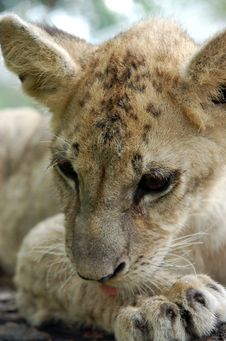 Free Lion Cub Royalty Free Stock Image - 9857416