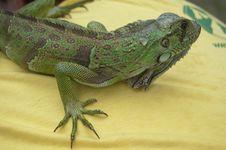 Free Iguana Stock Photos - 9857483