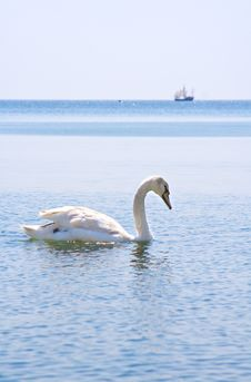 Swan On The Sea Royalty Free Stock Photography
