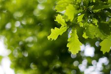 Free Fresh Oak Leaves Royalty Free Stock Photo - 9857845