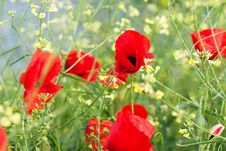 Free Poppy Stock Photo - 9858210