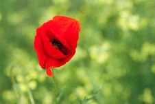 Free Poppy Royalty Free Stock Image - 9858386