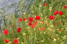 Free Poppies Royalty Free Stock Photography - 9858457