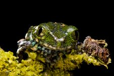 Free Peacock Tree Frog Royalty Free Stock Photography - 9859757