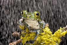 Free Peacock Tree Frog Royalty Free Stock Images - 9859779
