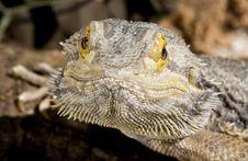 Free Bearded Dragon Stock Photo - 9859820