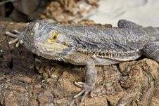 Free Bearded Dragon Royalty Free Stock Images - 9859829