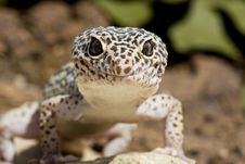 Free Gecko Royalty Free Stock Image - 9859846