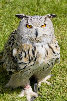 Free Eagle Owl Stock Image - 9859911