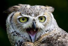 Free Eagle Owl Royalty Free Stock Image - 9859916