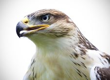 Free Hawk Stock Photo - 9859940