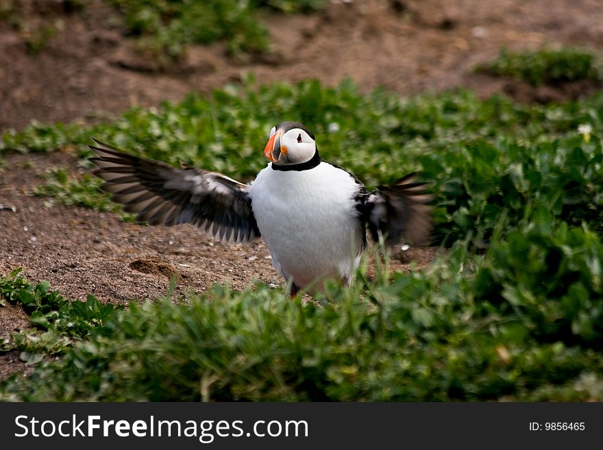 Puffin flapping its wings