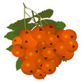 Free Ashberry (rowanberry) Royalty Free Stock Images - 9864339
