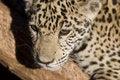Free Leopard Stock Photos - 9864383
