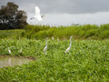 Free Egrets Royalty Free Stock Images - 9867329