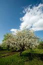 Free Apple Tree In Blossom Stock Photo - 9867430
