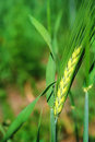 Free Green Ear Of Wheat Stock Images - 9868864