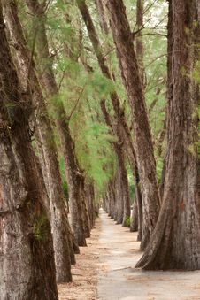 Free Walkway Between Rows Of Pine Royalty Free Stock Photos - 9860308