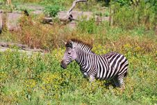 Zebra In South Africa Bushveld Stock Image