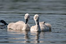 Free Swan Baby Stock Images - 9863634