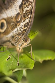 Free Macro Of Owl Butterfly Stock Image - 9863961