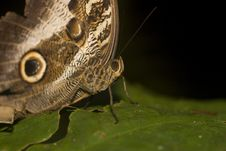 Free Macro Of Owl Butterfly Royalty Free Stock Photo - 9863965