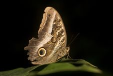 Free Macro Of Owl Butterfly Royalty Free Stock Photos - 9863968