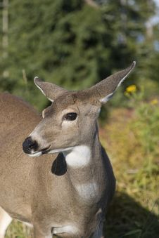 Free Deer Stock Image - 9864051