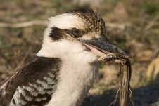 Free Kookaburra Eatting Lizard 2 Stock Photos - 9864063