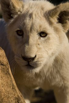 Free White Lion Cub Royalty Free Stock Images - 9864359