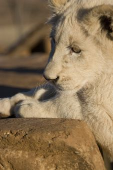 White Lion Cub Stock Photo