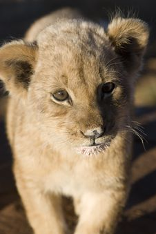 Free Lion Stare Stock Photos - 9864373