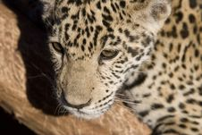 Free Leopard Stock Photos - 9864383
