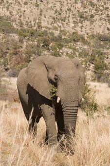Free Strolling Elephant Stock Photo - 9864640