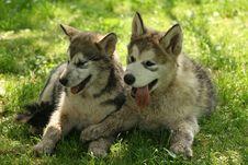Free Alaskan Malamute - Puppy Royalty Free Stock Image - 9865296