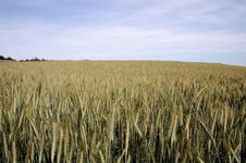 A Rye Field Royalty Free Stock Images