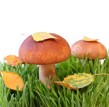 Free Two Mushrooms In A Grass Royalty Free Stock Image - 9865736
