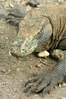 Large Komodo Dragon Stock Image