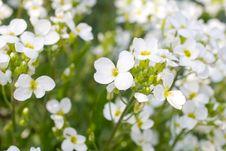 Free Beautiful White Flowers Royalty Free Stock Image - 9866426