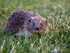 Hedgehog In Yard Stock Images