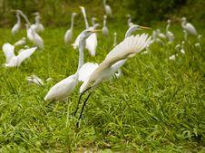 Free Egrets Stock Image - 9867421