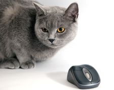 Free British Blue Cat With Wifi Mouse Stock Photography - 9868102