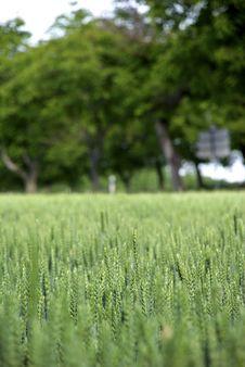 Free Barley Field Stock Photos - 9868623